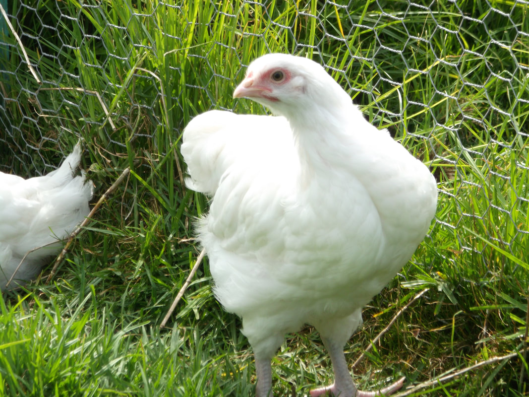 Orpington pullet